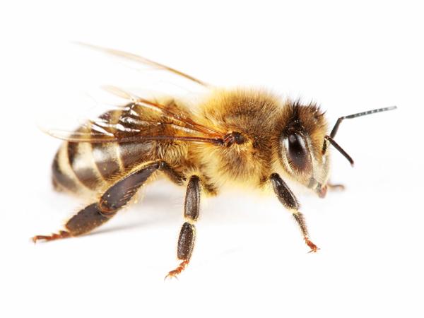 insekten teil 3 bienen die fachseite f r erzieher innen. Black Bedroom Furniture Sets. Home Design Ideas