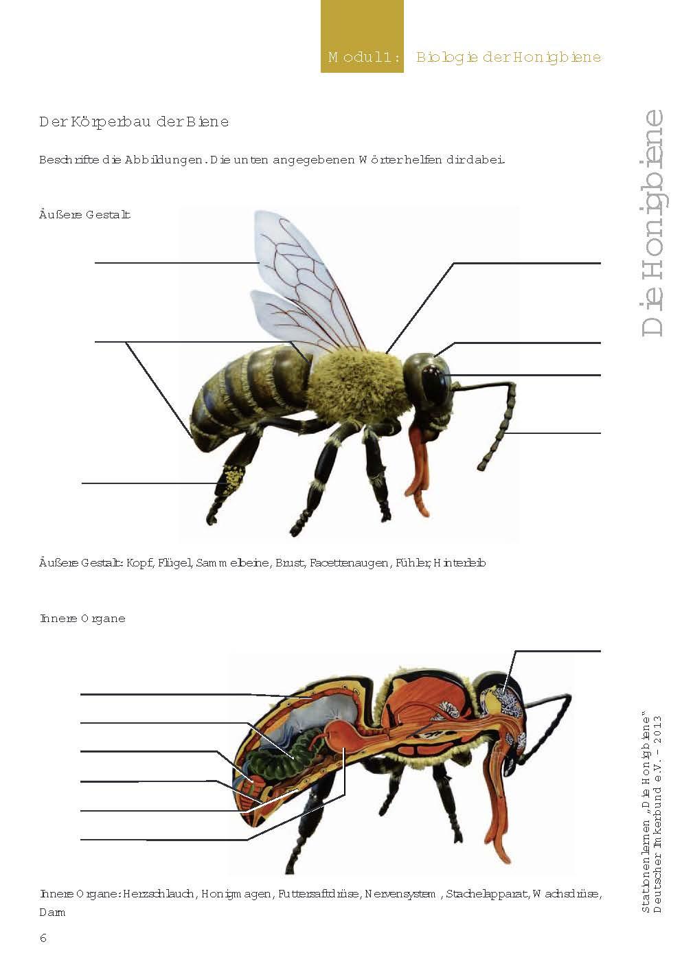 Arbeitsblatt Bienen Grundschule : Die honigbiene stationenlernen mit kostenlosem